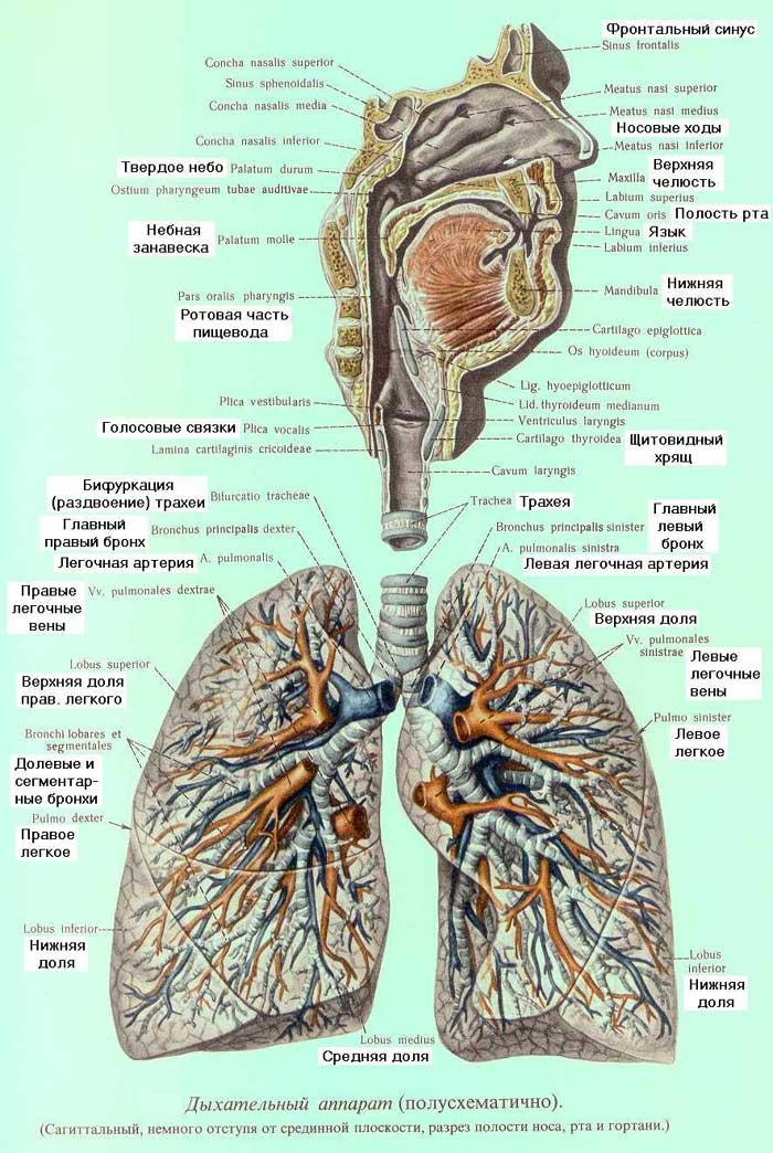 Система Дыхательная